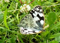 Coupled Marbled Whites