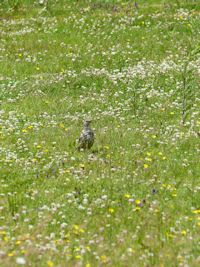 Mistle thrush and flowers