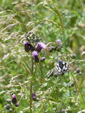 Wind blown Marbled Whites