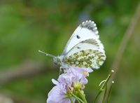 Female Orange Tip