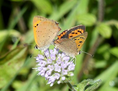Coupled Small coppers