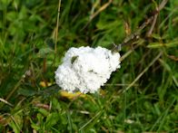 Dog vomit slime mould