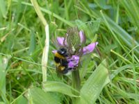 Bumblebee on Southern Marsh Orchid