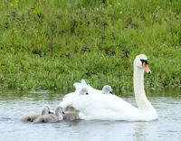 First cygnets of the year