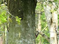 Green and Greater spotted woodpecker