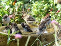 Bathing House Sparrows