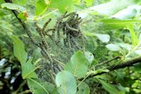 Spindle Ermine caterpillars