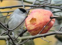 Ringed Blackcap