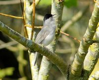 Singing Blackcap
