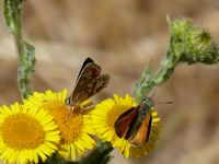 Brown Argus and Small Skipper