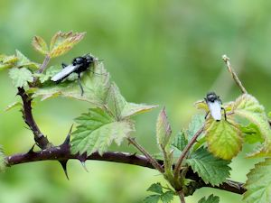 Hawthorn flies