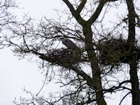 Occupied heron nests