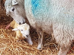 Lambing is underway