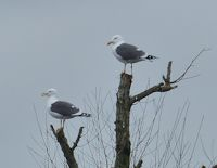 Lesser Black-backed Gull