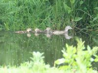 Mandarin brood