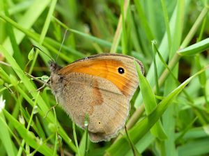 The first Meadow Brown of the year