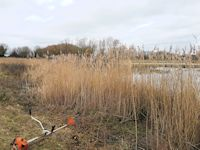 Cleaning the reedbeds