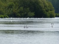 Swans and Grebe
