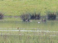 Gadwall and Garganey