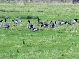 Brent and Canada geese