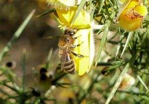 Honeybee working Gorse