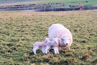First lambs of 2019