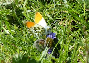 Orange-tip butterfl