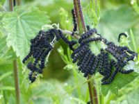 Peacock caterpillars on nettles