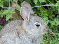Young rabbit