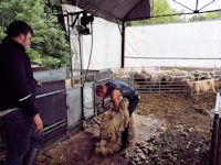 Shearing the ewes