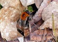 Queen Tree bumblebee