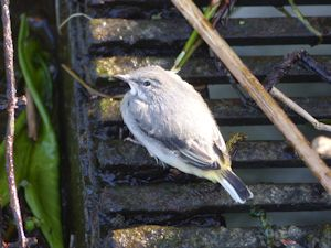 Fledged Grey Wagtail