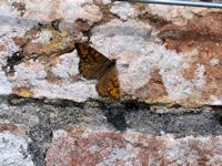wall Brown butterfly